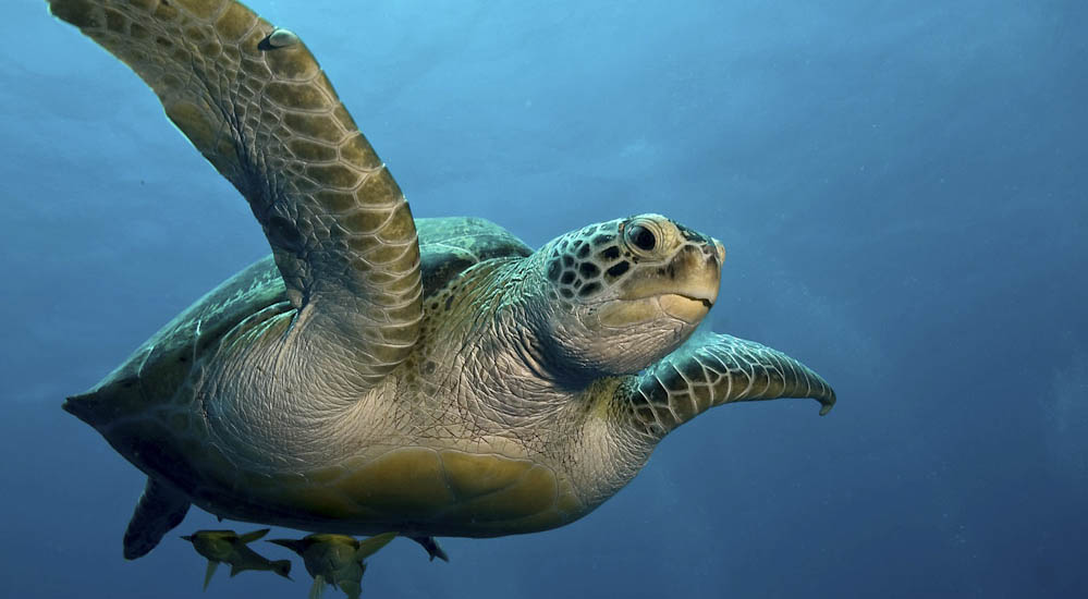 Green Turtle near Ras Shona in Red sea, Egypt
